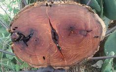 Mesquite Log